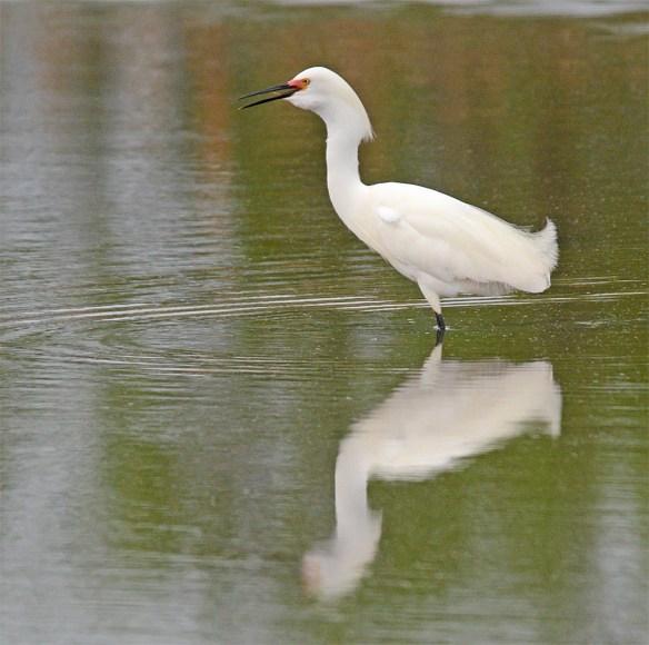 Snowy Egret 2017-22