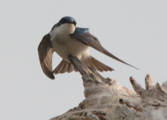 Tree Swallow 2017-41