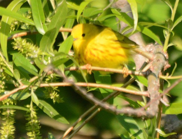 Yellow Warbler 2017-5
