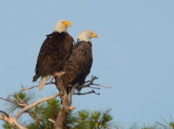 Bald Eagle 2017-111