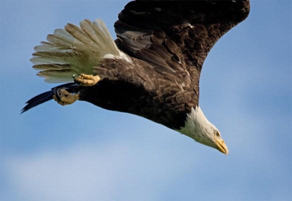 Bald Eagle 2017-125