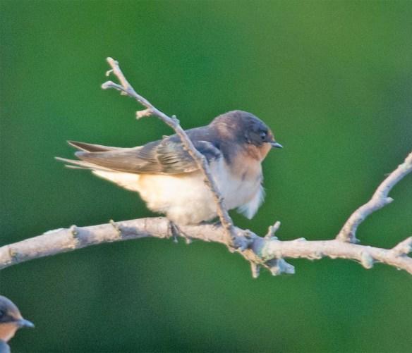 Barn Swallow 2017-12