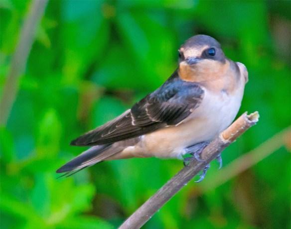Barn Swallow 2017-15
