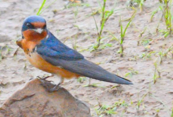 Barn Swallow 2017-6