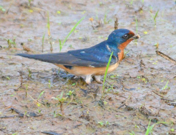 Barn Swallow 2017-8