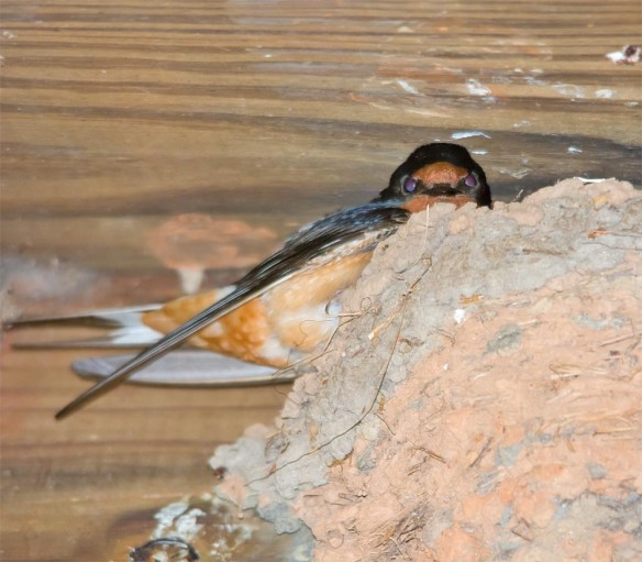 Barn Swallow 2017-9