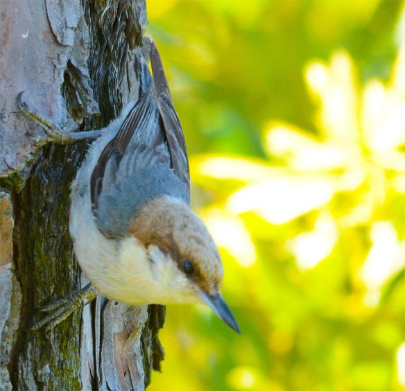 Brown Headed Nuthatch 2017-14