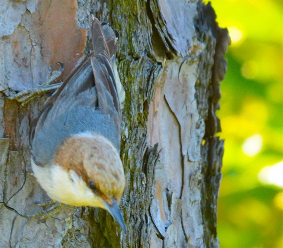 Brown Headed Nuthatch 2017-15