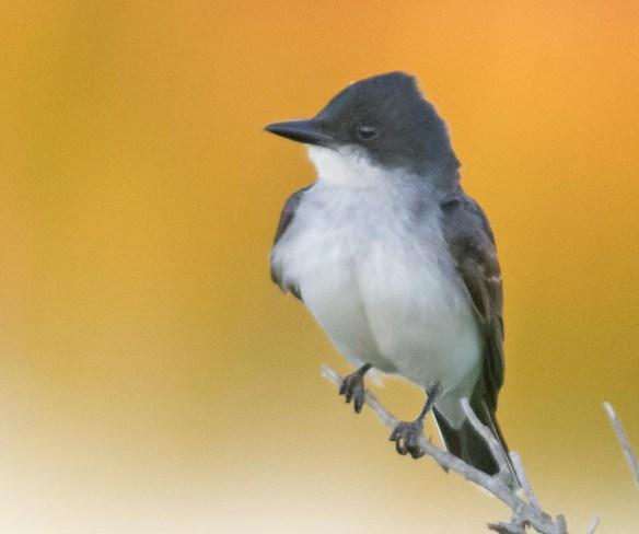 Eastern Kingbird 2017-14