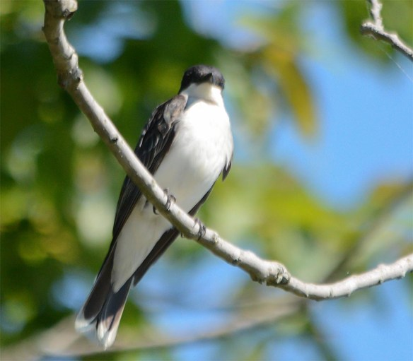 Eastern Kingbird 2017-9