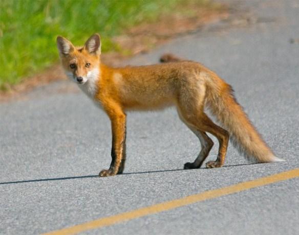 Fox 73