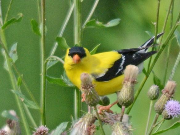 Goldfinch 2017-4