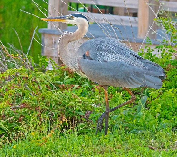 Great Blue Heron 2017-45