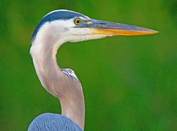 Great Blue Heron 2017-46