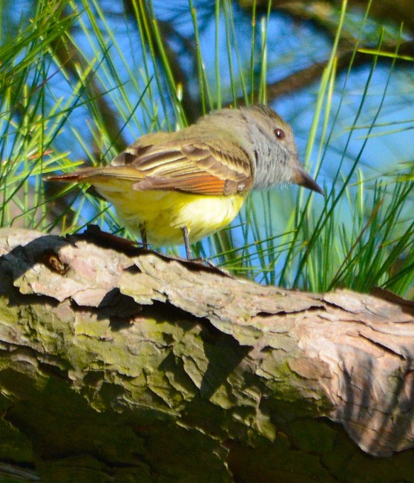 Great Crested Flycatcher 2017-4