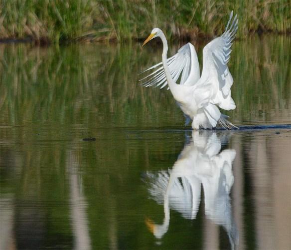 Great Egret 2017-19