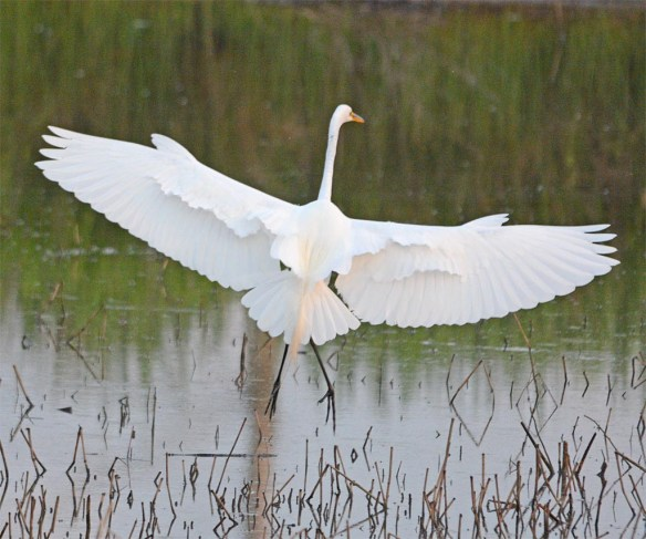 Great Egret 2017-26