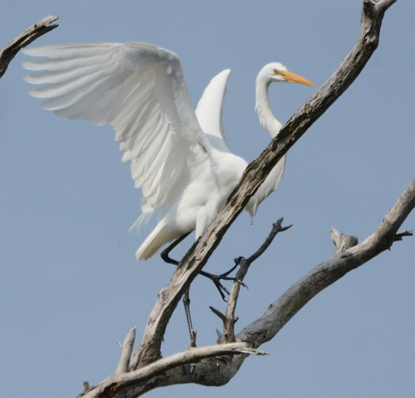 Great Egret 2017-33