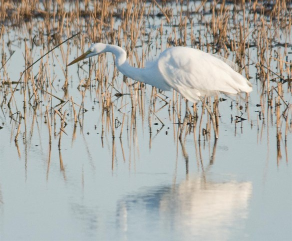 Great Egret 2017-38