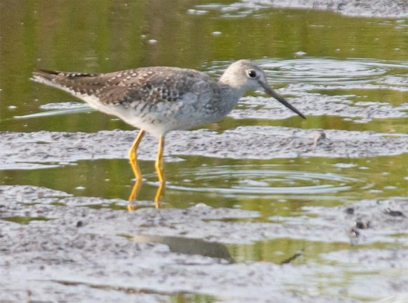 Greater Yellowlegs 2017-15