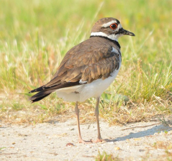 Killdeer 2017-9