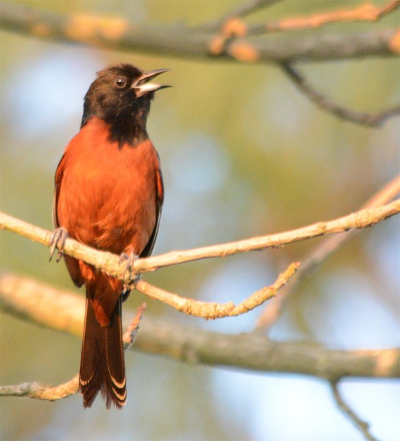 Orchard Oriole 2017-12