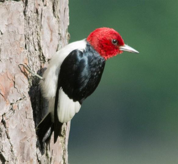 Red Headed Woodpecker 2017-28