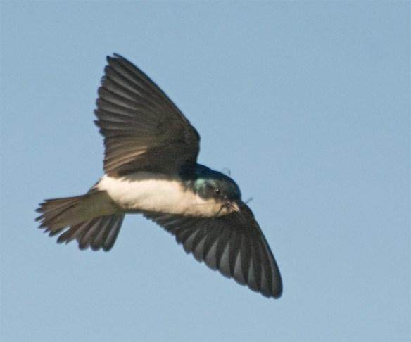 Tree Swallow 2017-46