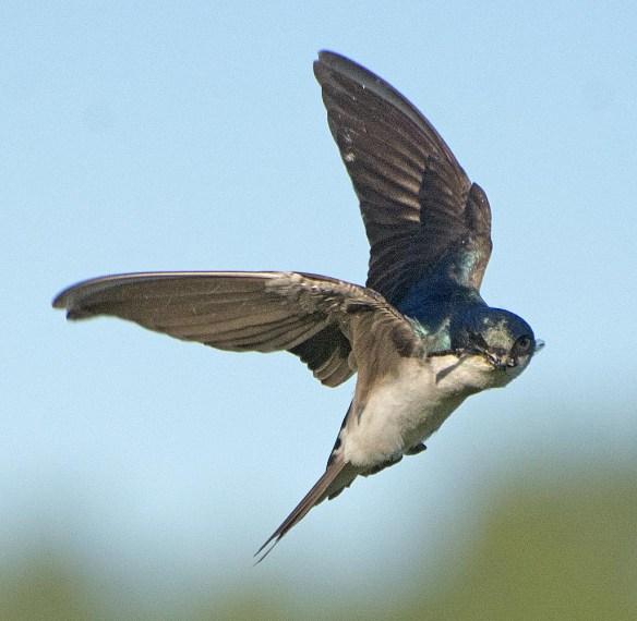 Tree Swallow 2017-47