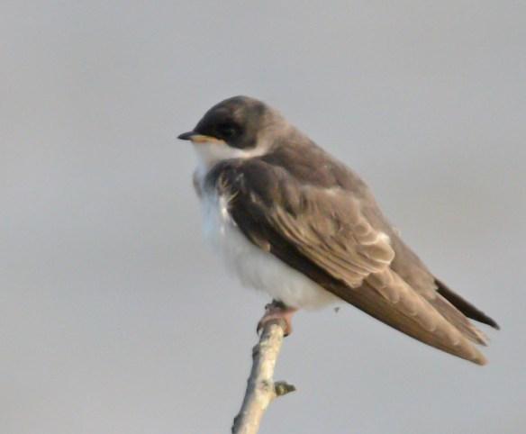 Tree Swallow 2017-50