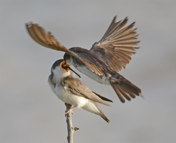 Tree Swallow 2017-52