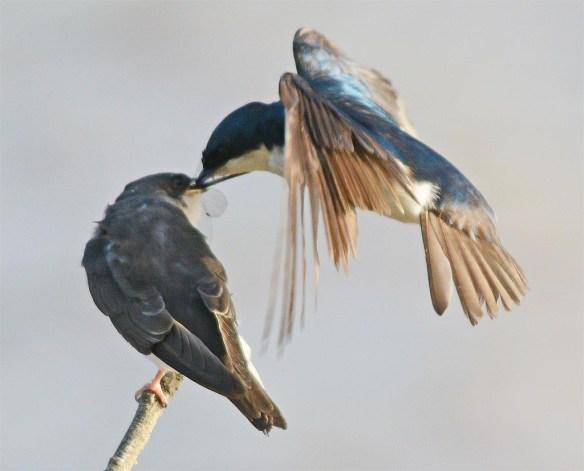 Tree Swallow 2017-54