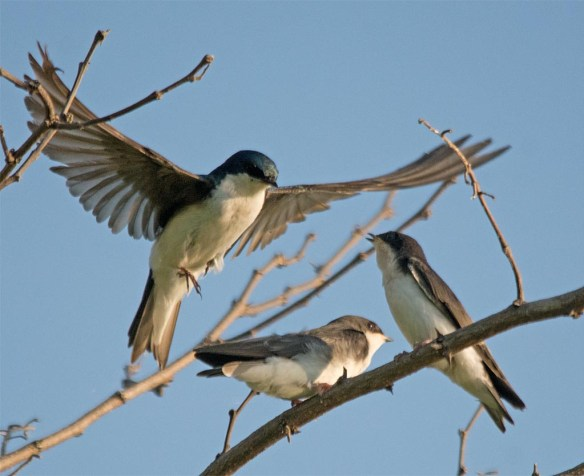 Tree Swallow 2017-63