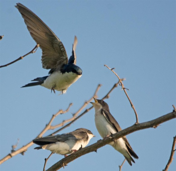 Tree Swallow 2017-64