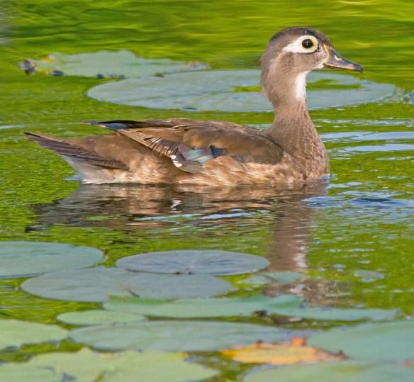 Wood Duck 2017-53