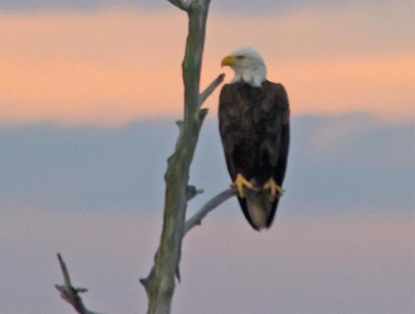 Bald Eagle 2017-129