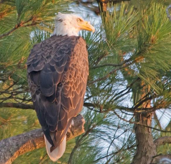 Bald Eagle 2017-136