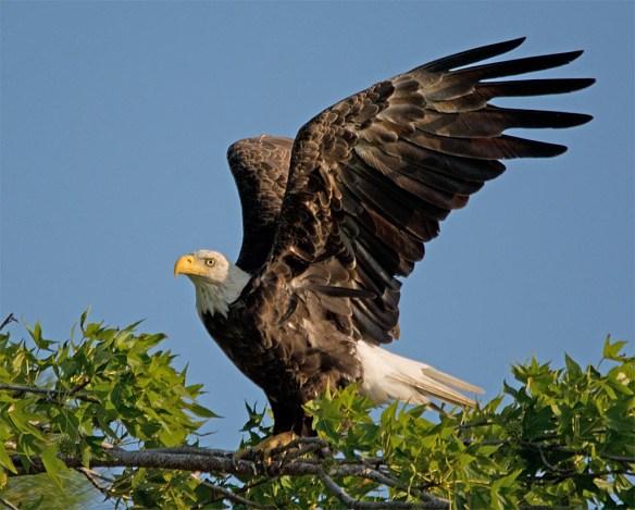 Bald Eagle 2017-138
