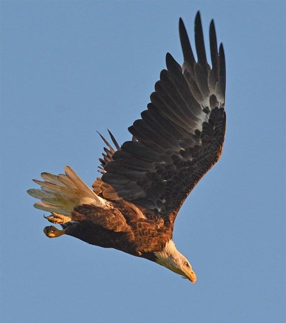 Bald Eagle 2017-142