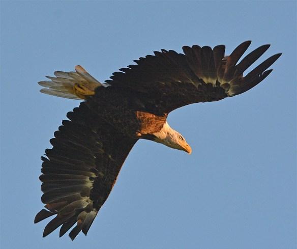 Bald Eagle 2017-143