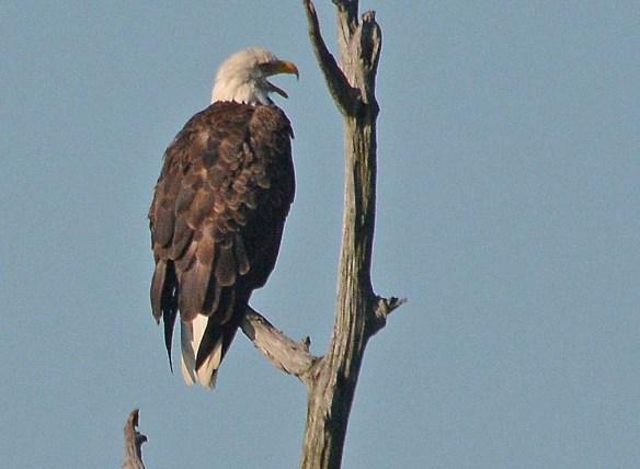 Bald Eagle 2017-144