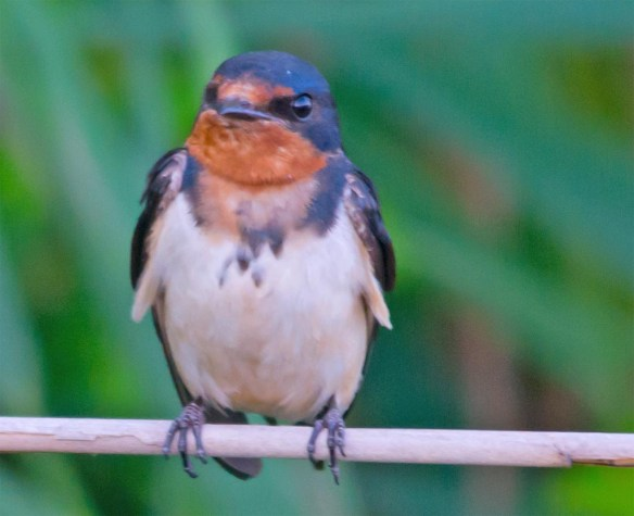 Barn Swallow 2017-24