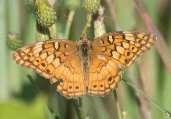 Butterfly 55