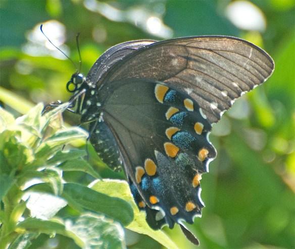 Butterfly 57