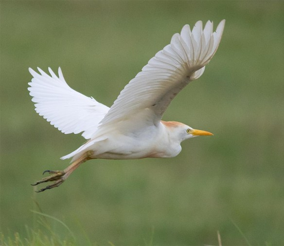 Cattle Egret 2017-4