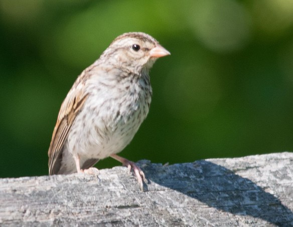 Chipping Sparrow 10
