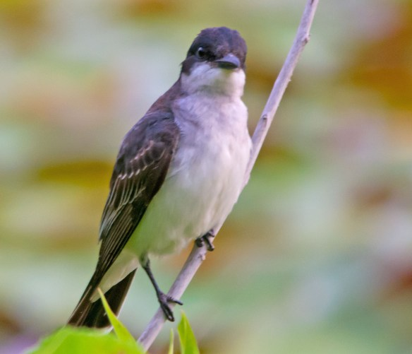 Eastern Kingbird 2017-17