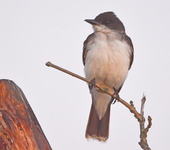 Eastern Kingbird 2017-18
