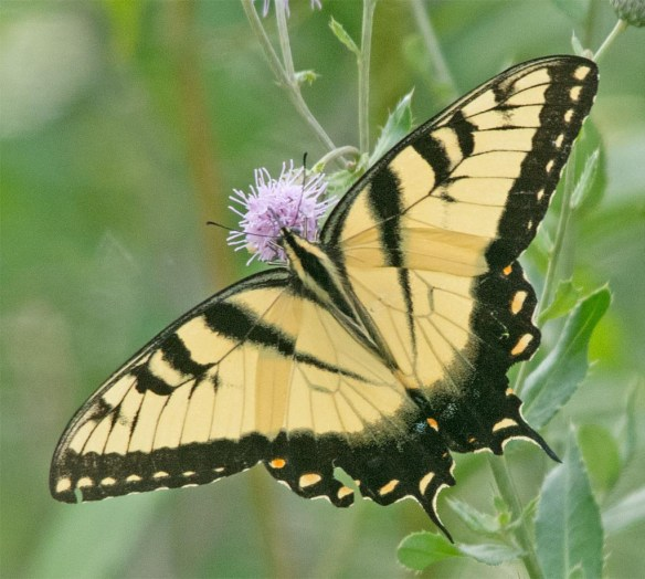 Eastern Tiger Swallowtail 108
