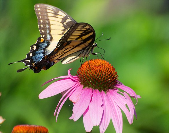 Eastern Tiger Swallowtail40